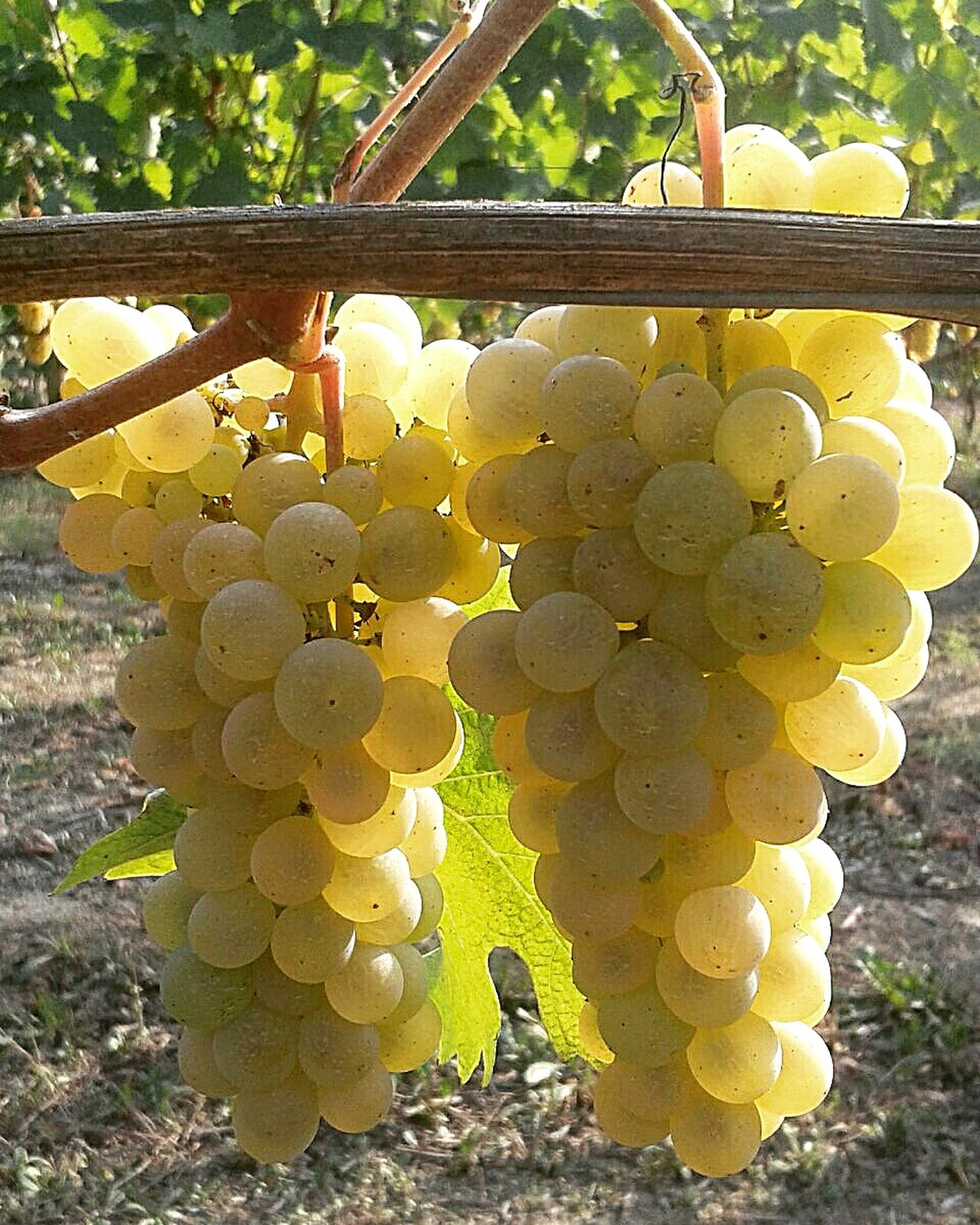 Fruit Growth Yellow Hanging Freshness Agriculture Grape Outdoors No People Nature Close-up Healthy Eating Day Arneis Grapes, Vineyard, Wine, Winery, Soft, Vineyard Location Vineyard Vineyard Cultivation Whitevine Whitegrape Vendemmia Harvest Time Italianvines Langhe Barbaresco