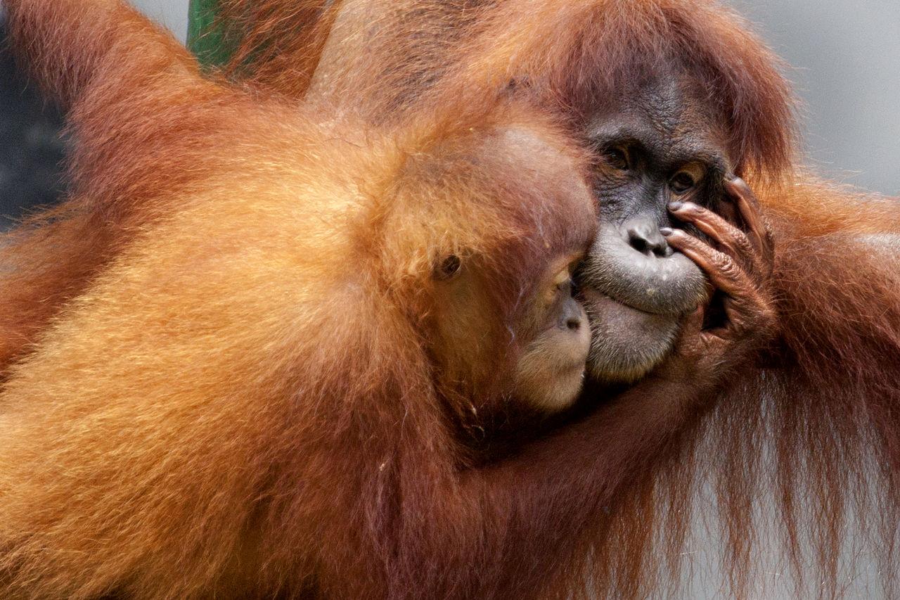 Young Orang Utan Kiss Its Mother Animal Themes Animal Wildlife Ape Close-up Day Endangered Animals Endangered Species INDONESIA Kalimantan Mammal Monkey No People Orang Utan Orangutan Outdoors Primate Sumatra  Young Animal