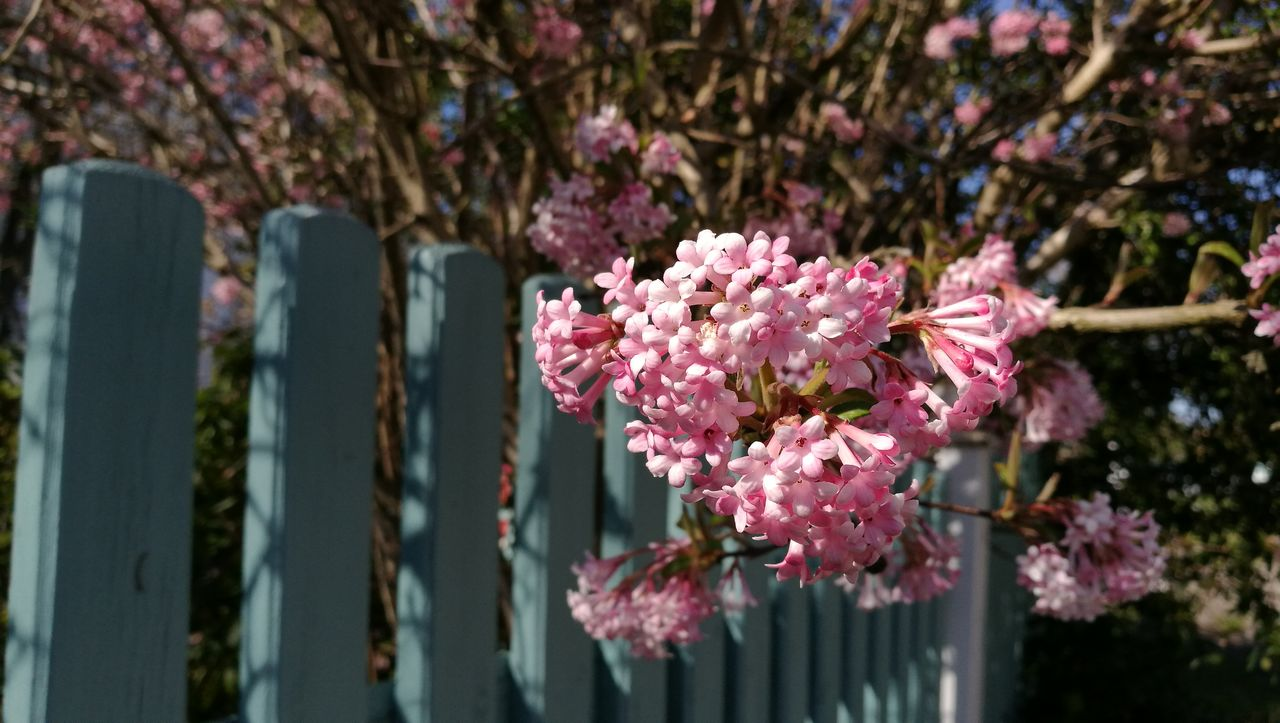 flower, pink color, fragility, growth, beauty in nature, nature, freshness, focus on foreground, no people, day, outdoors, close-up, springtime, plant, petal, tree, blooming, flower head
