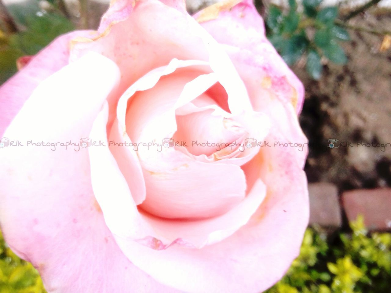 Pinkbeauty January2016 Pink Rose Followfor More to R1kphotography Macro Beauty loading soon Followforfollow Followme I Follow You give and take is basics for me