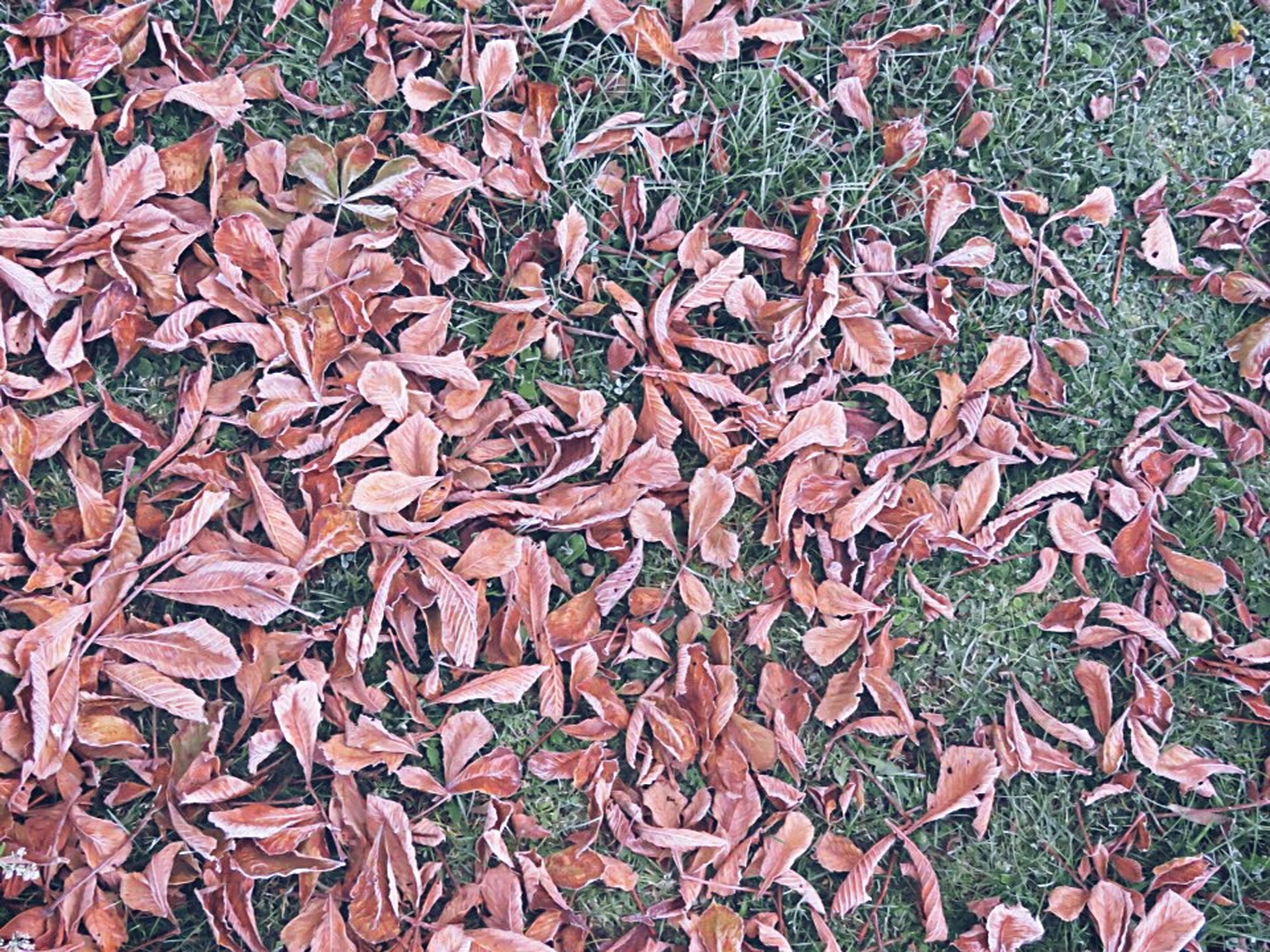 autumn, full frame, backgrounds, leaf, change, abundance, high angle view, dry, leaves, fallen, red, season, large group of objects, textured, day, outdoors, nature, field, no people, close-up