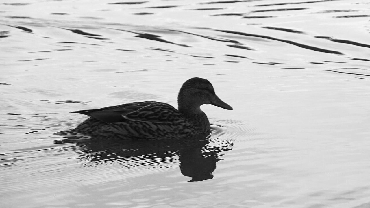 Hello World Check This Out Water Ripples Effect Blackandwhite Photography Black And White Collection  EyeEm Best Shots - Black + White Ducks At The Lake Ducks In Water Water Ripples Black And White Showcase: February Middlewich Walks By The Canal Cheshire Relaxing EyeEm Nature Lover EyeEm Best Shots - Nature EyeEm Animal Lover EyeEm Best Shots