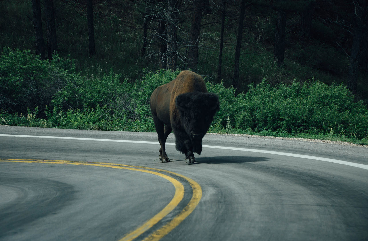 American Bison Animal Themes Animal Wildlife Animals In The Wild Beauty In Nature Bison Day Green Color Mammal Nature No People One Animal Outdoors Road