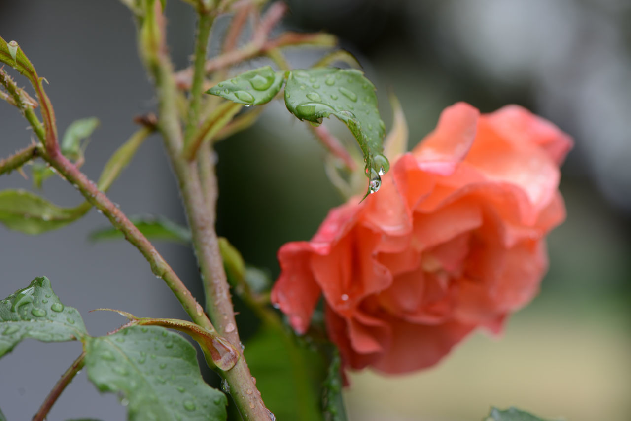 nature, growth, beauty in nature, plant, drop, freshness, no people, close-up, flower, green color, outdoors, petal, focus on foreground, fragility, day, leaf, rose - flower, water, blooming, flower head