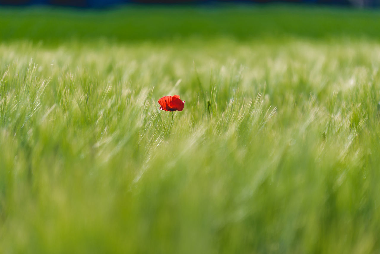 Agriculture Beauty In Nature Cereal Plant Close-up Crop  Day Field Flower Freshness Grass Green Green Color Green Color Growth Nature No People Outdoors Plant Poppy Red Red Rural Scene Selective Focus The Great Outdoors - 2017 EyeEm Awards Wheat