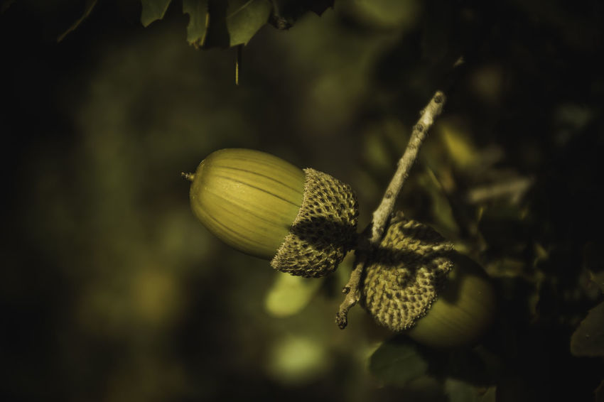acorns.. Acorn Acorns Animal Food Animal Themes Close-up Day Greece Green Nature Nature Photography No People Outdoors Trees