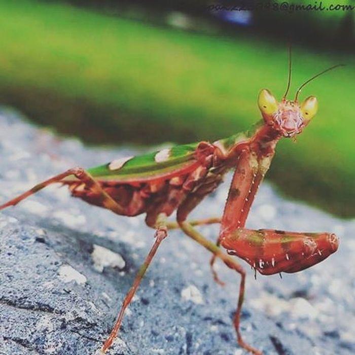 Mantis Mantisgram Macro Beautyful  Beautycare Beauty Beautyandthebeast Hyderabad Nature Naturelovers Telenganatravel