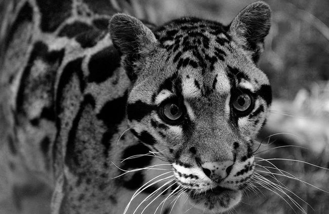 Blackandwhite Wildlife Nature Cat Portrait Eye4photography