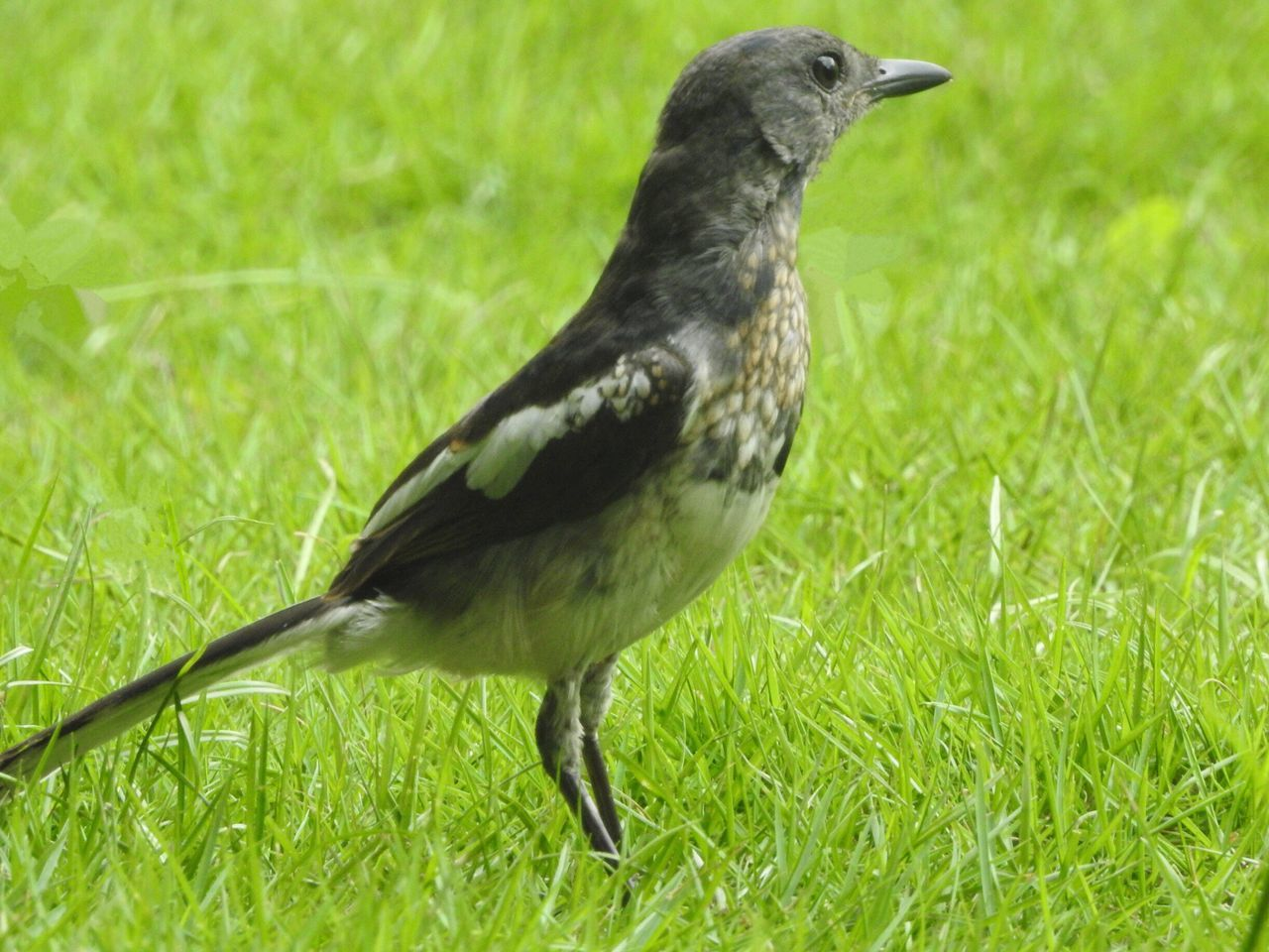 Bird Grass Animal Themes One Animal Animals In The Wild Animal Wildlife Green Color Field Nature Day No People Outdoors Growth Full Length Perching Close-up (null)
