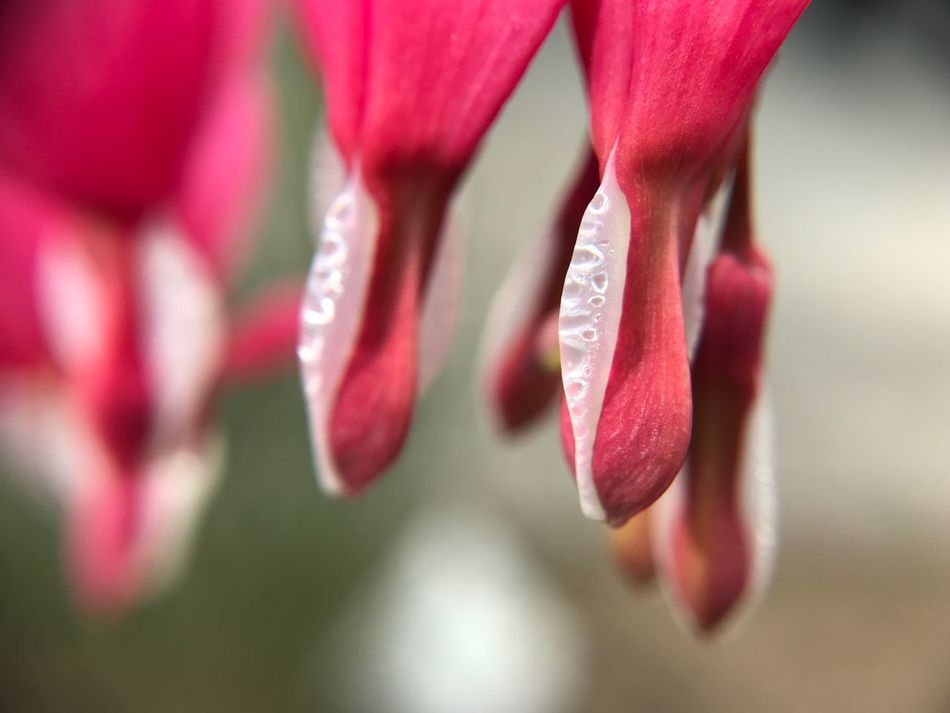 Flower Petal Beauty In Nature Nature Growth Fragility Plant Close-up Freshness No People Flower Head Red Drop Day Outdoors Pink Color Blooming Macro Photography Freshness Spring Springtime Macro Beauty In Nature Plant Bleeding Heart