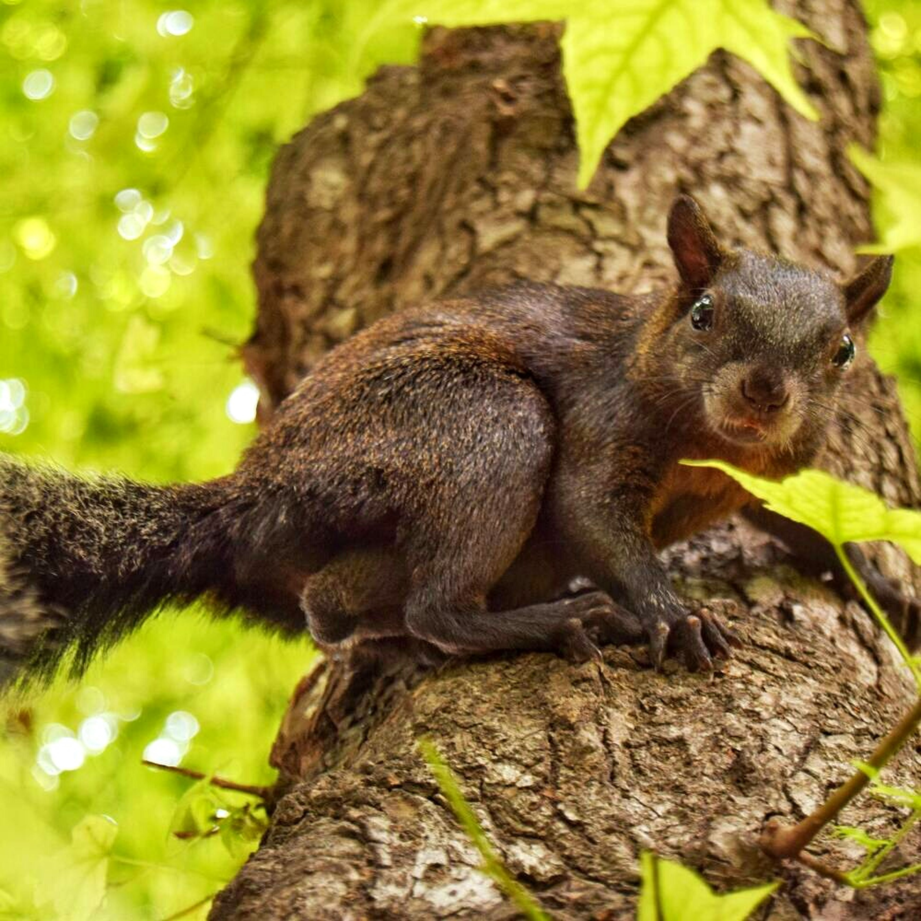 one animal, animal themes, animal wildlife, animals in the wild, tree, no people, squirrel, mammal, nature, day, tree trunk, outdoors, branch, full length, close-up, climbing