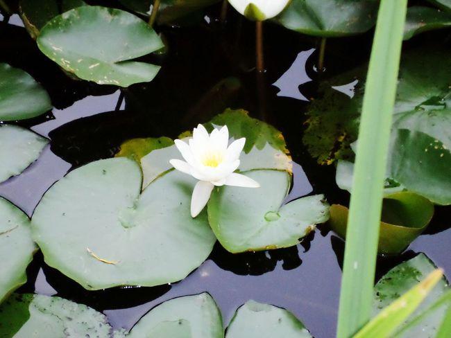 EyeEm Nature Lover Flowers Lily Pads Photosofrm15 Ockendon United Kingdom