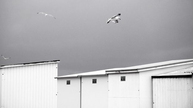 Three birds Three Birds Three Birds Bird Photography Flying Bird Animal Themes No People Animals In The Wild Low Angle View Outdoors Sky Ocean Oceanside Beach Cabin Dressing Room Flight Monochrome Seagull Seagulls Landscape Nikon Nikonphotography Blackandwhite