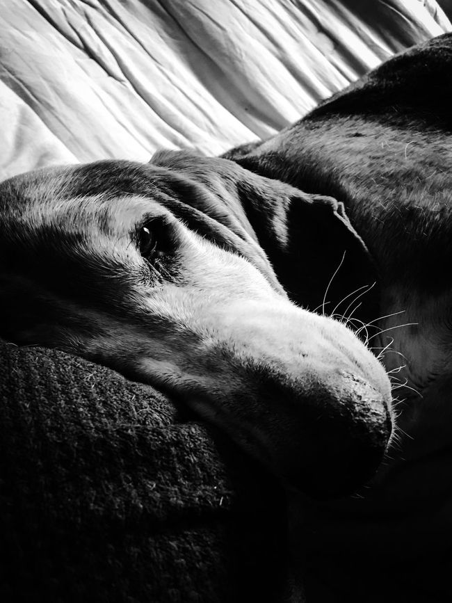 Cooper just ready for a nap Adogslife Posing For The Camera Iphonephotography Comfy And Cozy Bassetphotography Bassetmoments Myseniorhound Bassetworld Livinandlovinlife Ilovebassethounds Blackandwhite Photography