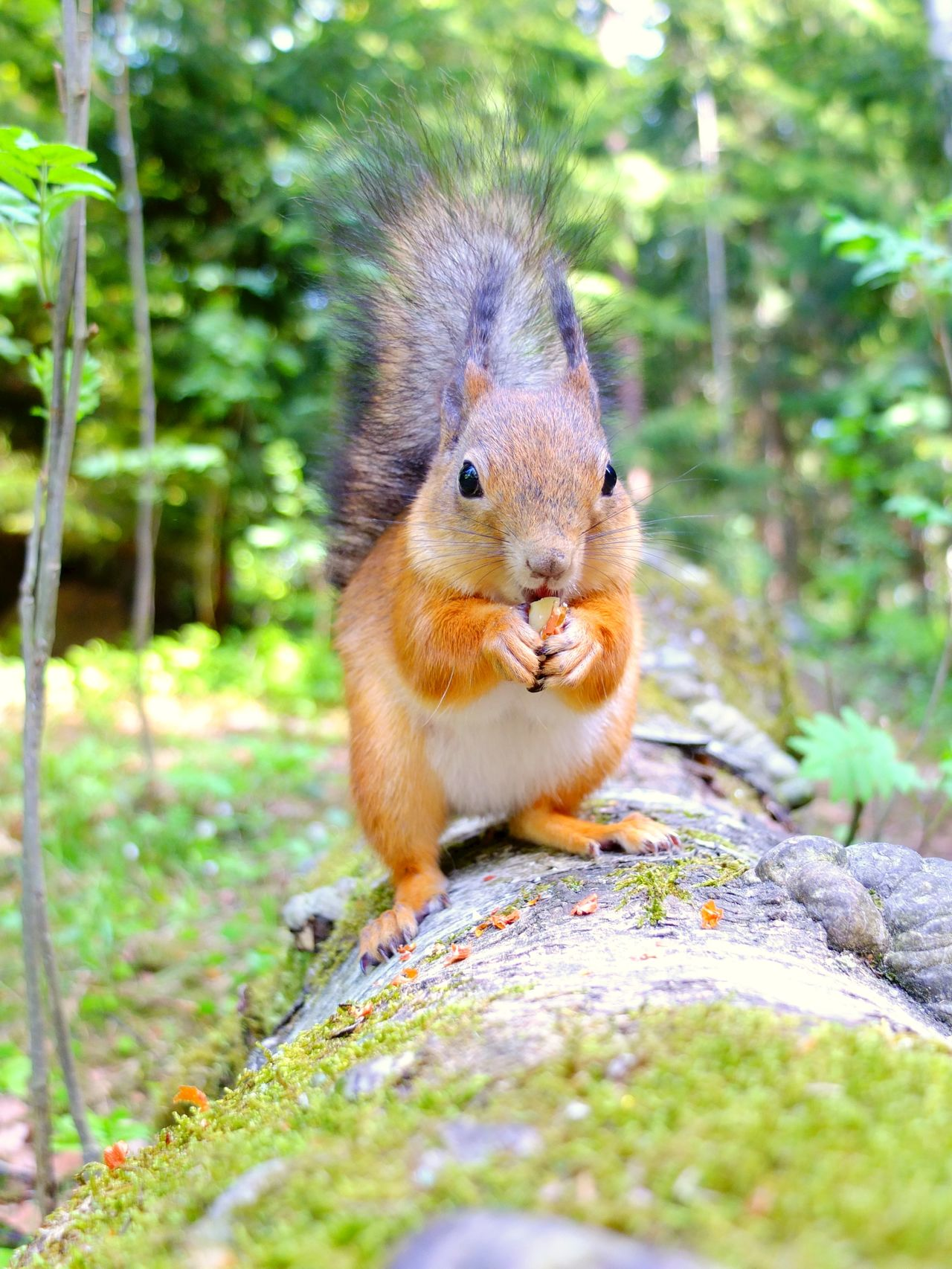 Closeup of squirrel eating a nut Adorable Animal Themes Animal Wildlife Animals In The Wild Close-up Cute Day Finland Furry Helsinki Lovely Lovelynatureshots Mammal Nature No People Nut One Animal Outdoors Seurasaari Small Squirrel Squirrel Squirrel Closeup Squirrel Photo