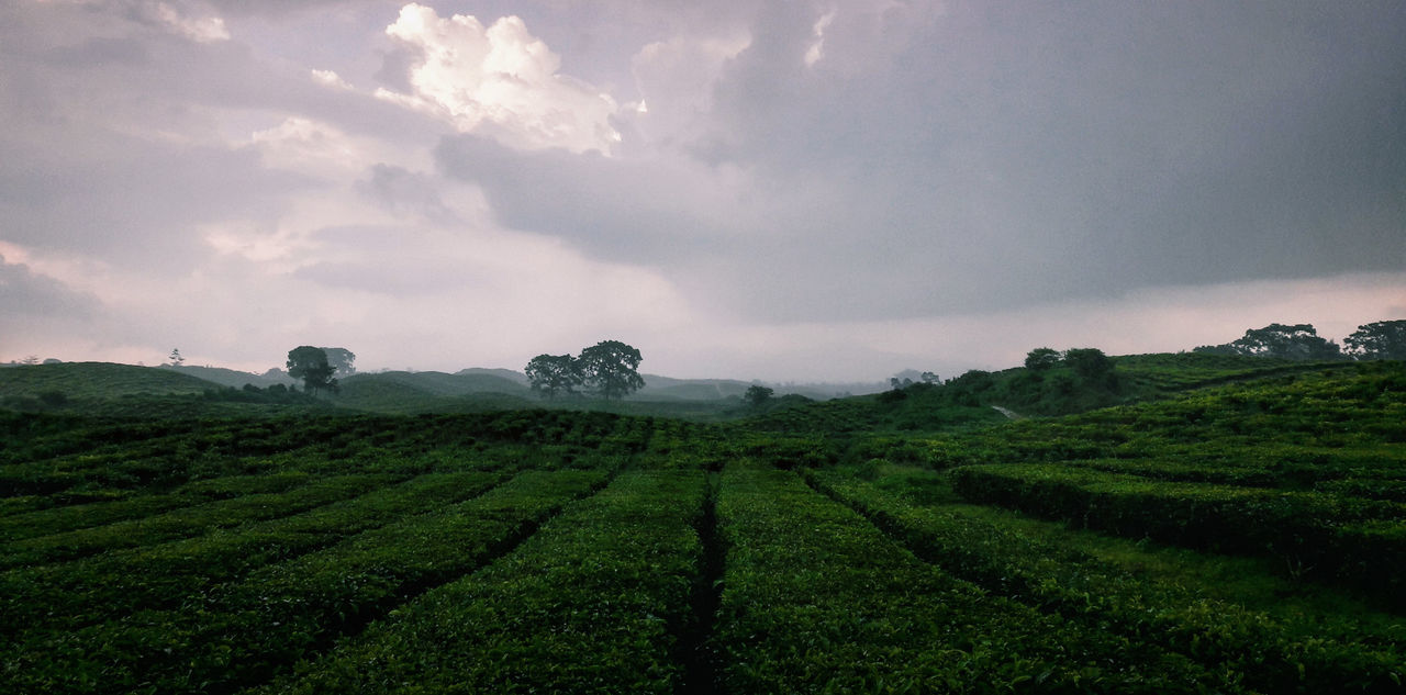 Agriculture Field Tea Crop Rural Scene Cloud - Sky Crop  Farm Social Issues Nature Environmental Conservation Growth Hill Valley Cultivated Land Landscape Beauty In Nature Dramatic Sky Plant Outdoors Green Tea