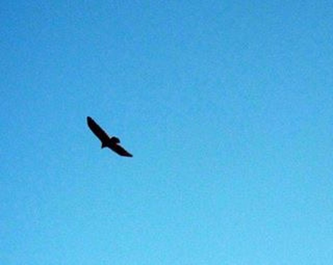bird, one animal, animals in the wild, flying, animal wildlife, clear sky, animal themes, blue, day, no people, nature, low angle view, mid-air, outdoors, spread wings, sky, raven - bird, bird of prey