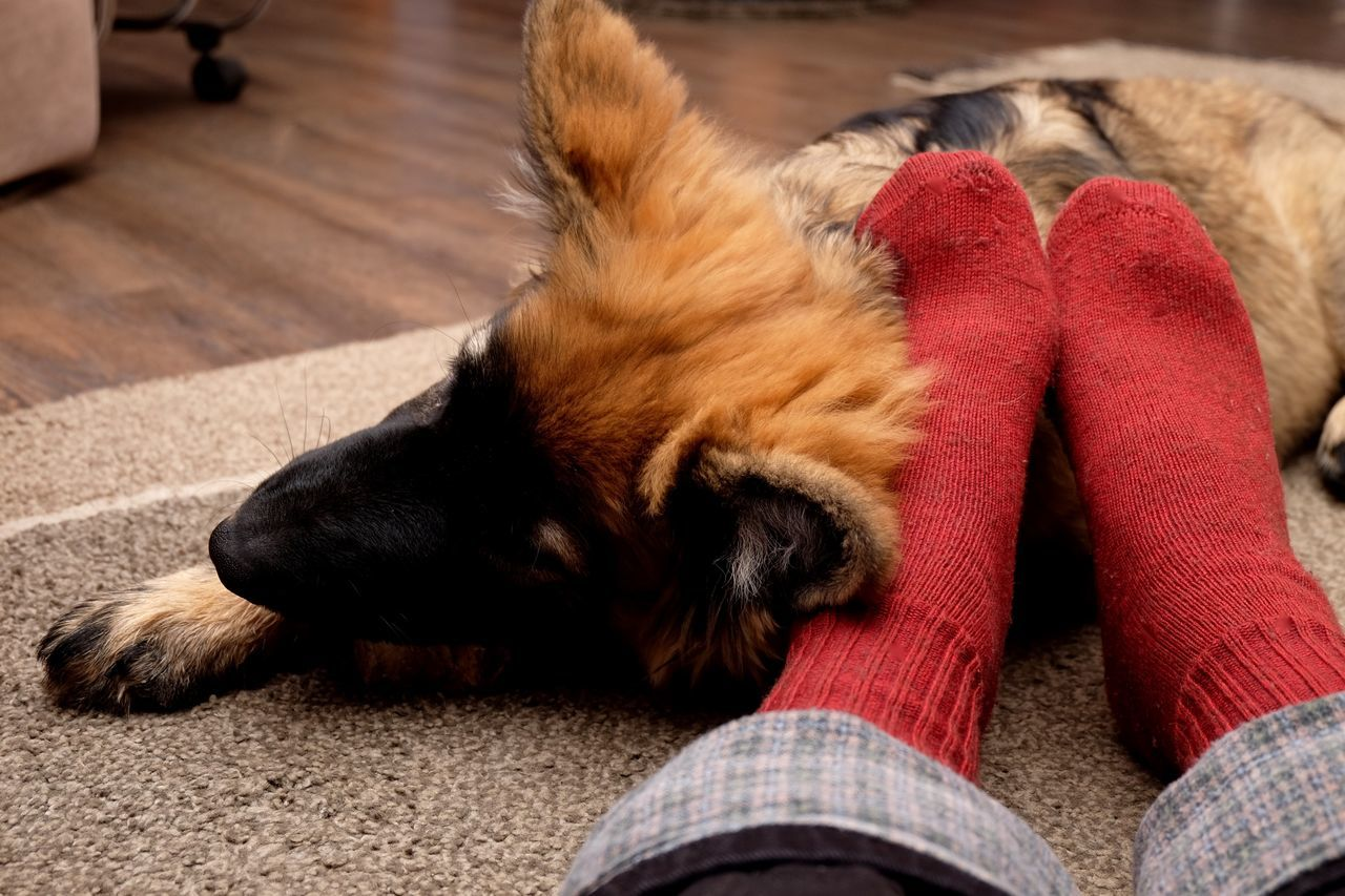 Close-up Domestic Animals Eye4photography  German Shepherd Home Interior Indoors  Lying Down One Animal Pets Relaxation Taking Photos TK Maxx Socksie