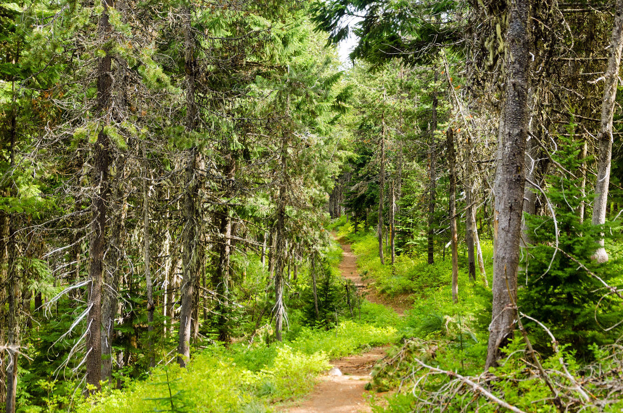 Trail running through Mt. Hood National Forest Background Branch Branches Brown Conifer  Coniferous Detail Evergreen Fir Forest Fresh Green Leaf Natural Nature Nature Needle Needles Oregon Pine Plant Season  Spruce Tree Wood