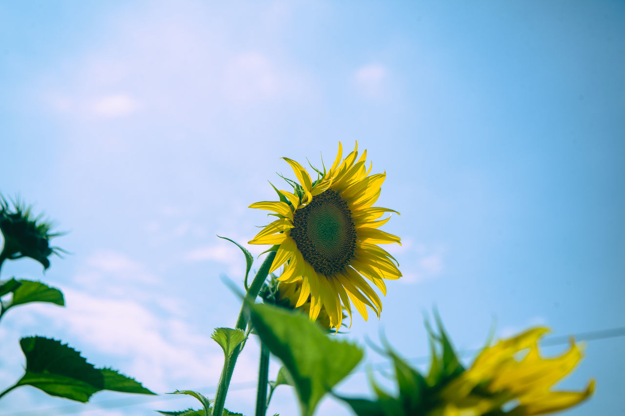 Beauty In Nature Blooming Blue Canon Canon EOS 5D Mark II Canonphotography Day DSLR Flower Flower Head Freshness Growth In Bloom Nature No People Outdoors Petal Plant Sky Sunflower Yellow 'K' The Life Spectrum