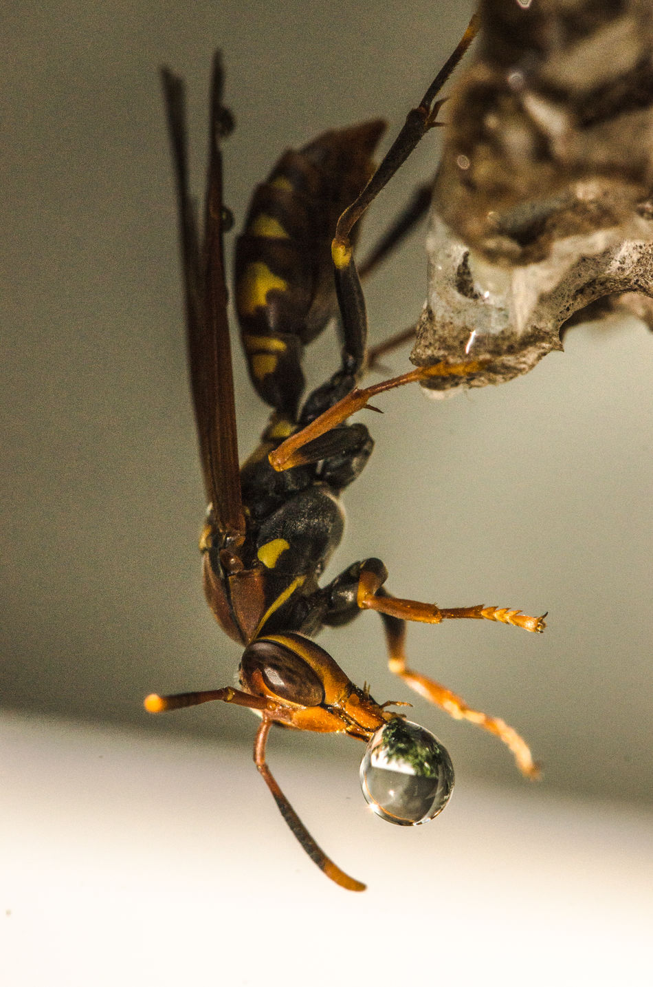 But if this was become wet, this can compromise the integrate of their hive. So, what was amazing to me was find out how they take out those wet drops of water. They, literally, spit it out. Hive Insect Insect Paparazzi Insect Photography Insects  Macro Macro Beauty Macro Insects Macro Nature Macro Photography Macro_perfection Macrophotography Nature Nature Photography Naturelovers Naturephotography Nest Wasp Wasp Macro Wasps Wasps Nest Wasps🐝