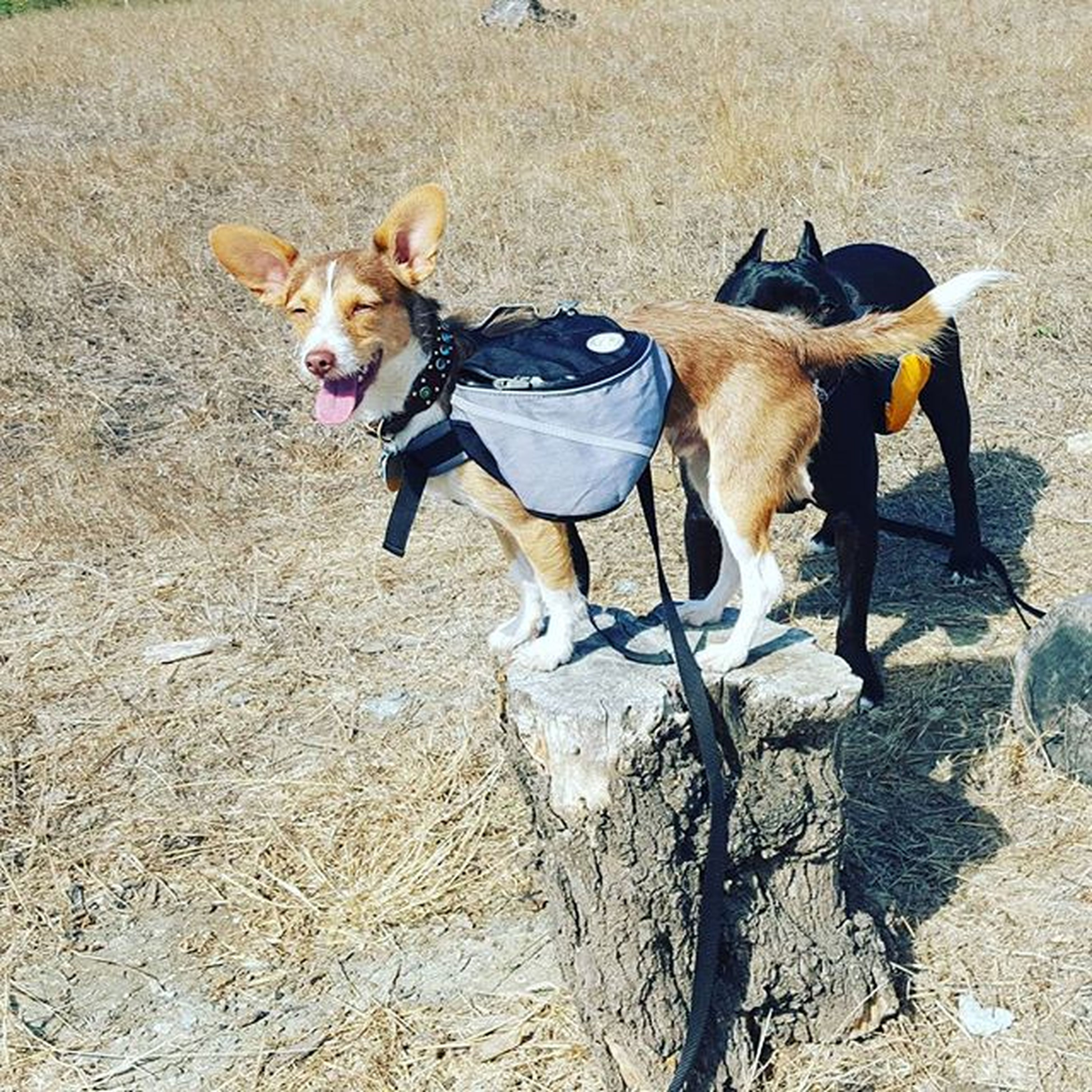 domestic animals, dog, animal themes, pets, mammal, one animal, high angle view, full length, pet leash, two animals, pet collar, sunlight, sand, street, canine, shadow, outdoors, standing, day, zoology