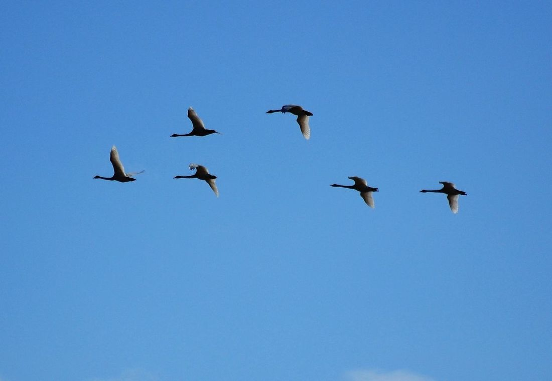 Bird Clear Sky Iwate Swan Tohno(遠野) 岩手 白鳥 遠野 青空 鳥