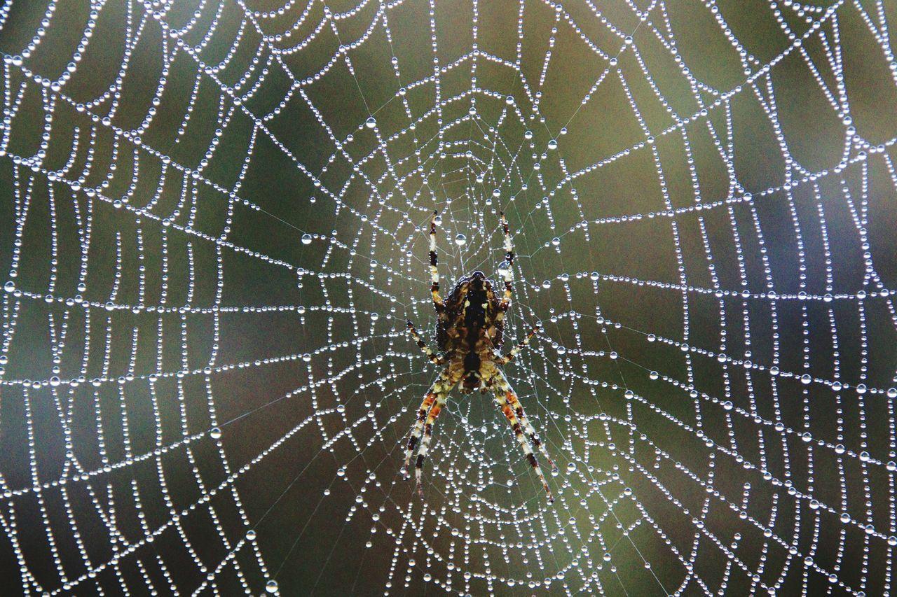 Beautiful stock photos of spinnen,  Animal Themes,  Animal Wildlife,  Animals In The Wild,  Arachnid