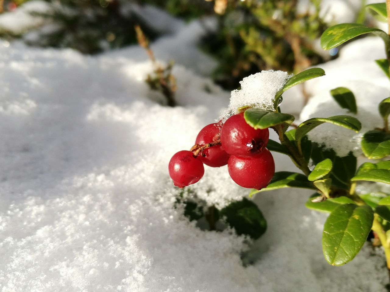 Red Snow Cold Temperature Christmas Evergreen Cowberry Berries In Snow Red Berries And Snow Close-up Frozen Winter