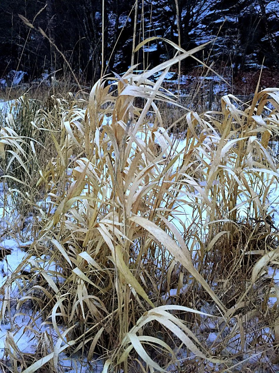 Grass Wintertime Snow Cold Temperature Nice Day Outdoors Showcase: February IPhoneography Taking Photos Iphonephotography Sweden Winter Morning