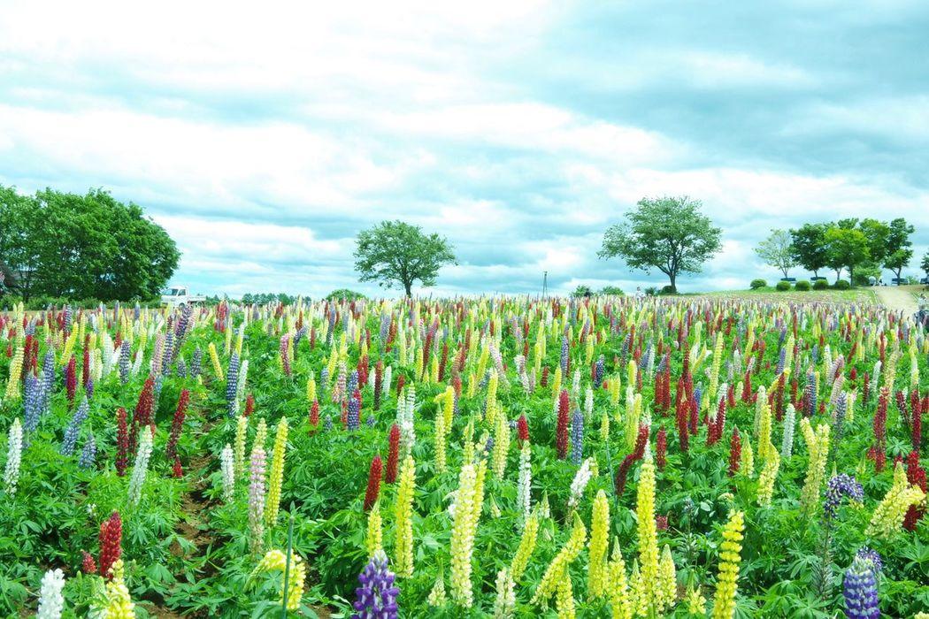 那須フラワーワールド Pentax K-3 ルピナス 高原 Plant Flower