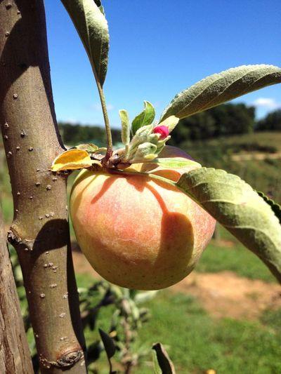 Apple picking. Georgia Blue Ridge Mountains Apple