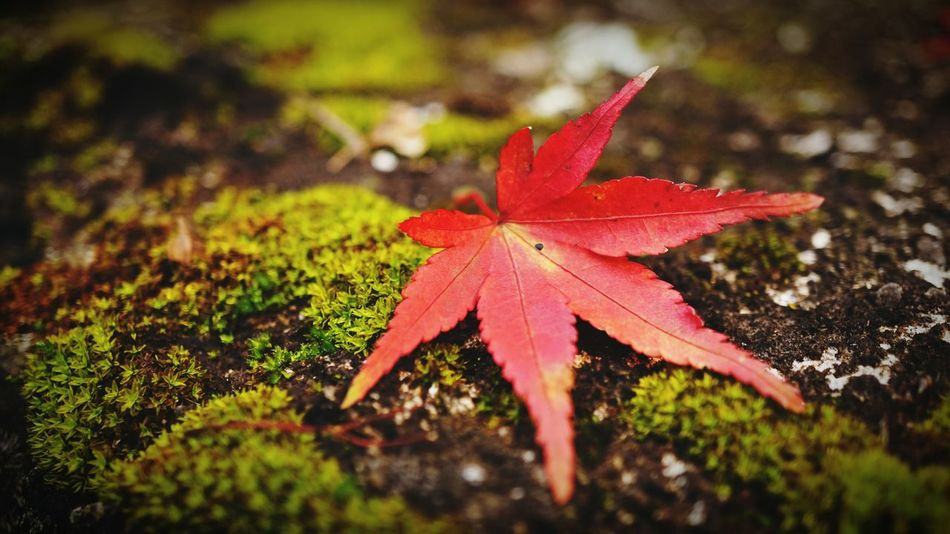 Osaka, Japan Minoh, Osaka Leaf Autumn Red Maple Leaf Change Nature Close-up Plant No People Beauty In Nature Outdoors Maple Maroon Day Flag 箕面 紅葉 和