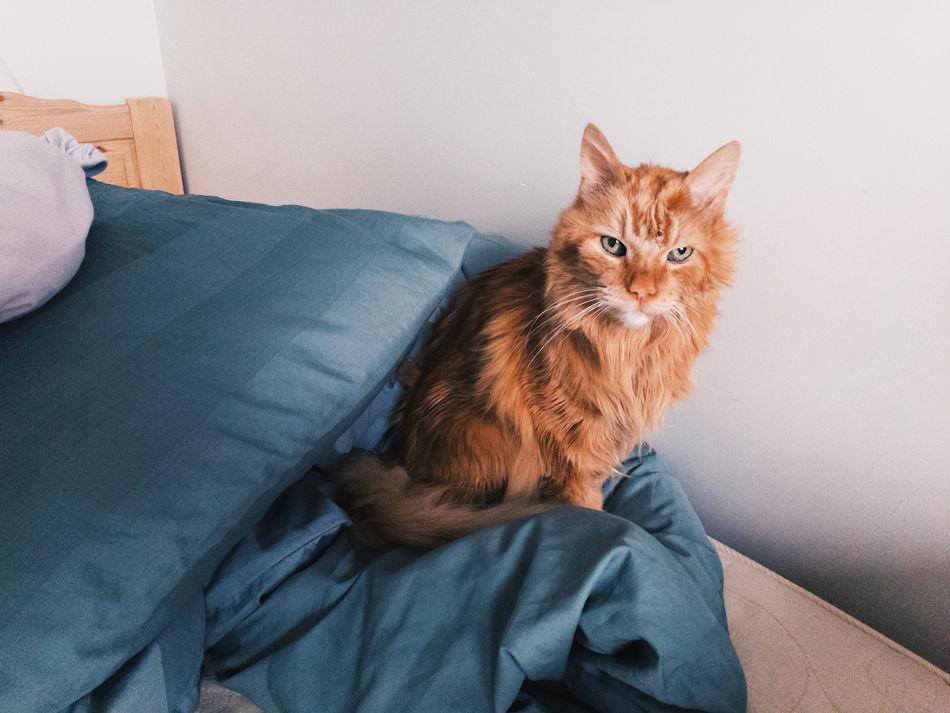 Sleepy cat is a bit grumpy after waking up. Bed Blanket Catrina Closeup Domestic Cat Feline Fluffy Furry Grumpy Indoors  Maine Coon One Animal Orange Color Pet Serious Seriuos Cat Sitting Sleepy
