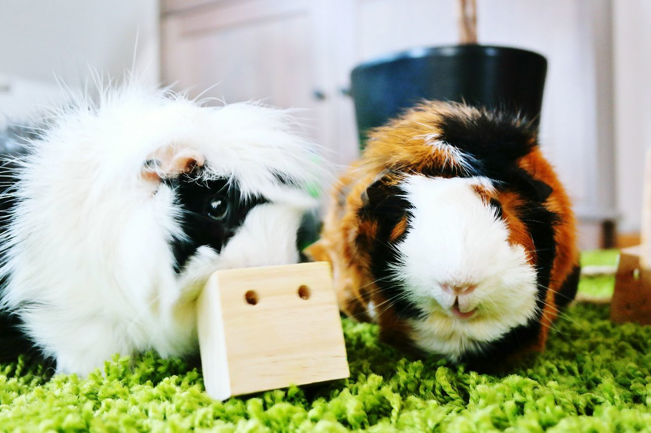 The Guys Pigs Guinea Pig Pets Sweet Animals
