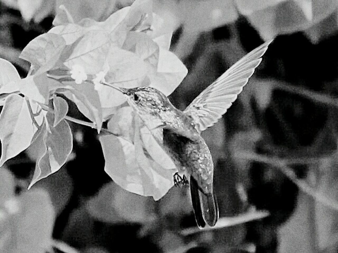 Humingbird Humingbirds Black And White Black And White Photography Monochrome Bird Photography Birds In Flight Birdwatching