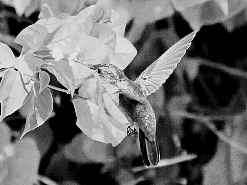 Humingbird Humingbirds Black And White Black And White Photography Monochrome Bird Photography Birds In Flight Birdwatching