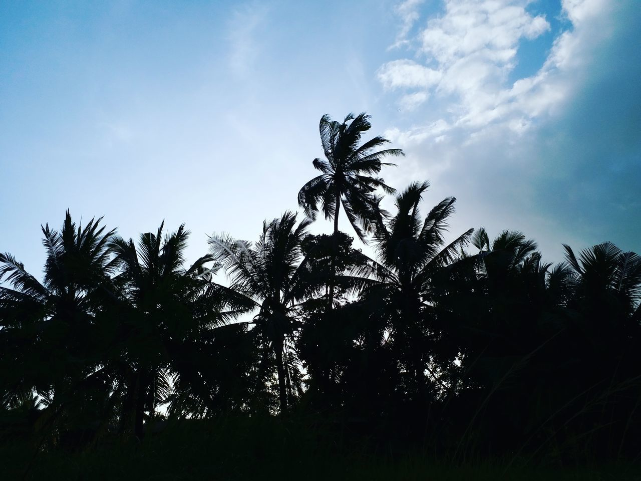 tree, palm tree, nature, sky, low angle view, growth, beauty in nature, no people, tranquility, outdoors, day, silhouette, scenics