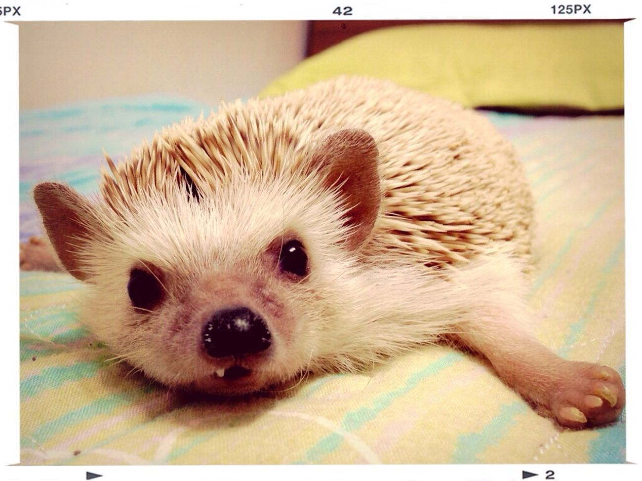 Cute Pets Hadgehog Pets 반려동물