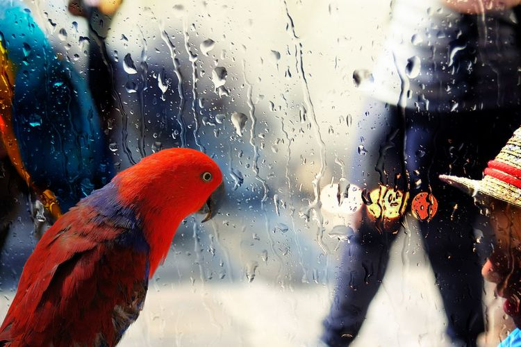 Female Eclectus parrot (Eclectus roratus), side profile. Colorful female red parrot looking through a rain splattered glass Animal Themes Beak Bird Close-up Day Eclectus Parrot Feathers Female Animal Glass - Material Horizontal Incidental People Indoors  Looking Through A Window One Animal Parrot Rain Raindrops Red Travel Tourism Nice Looking For Inspiration Looking Looking Down Young Adult Communication Young Women Arts Culture And Entertainment Unrecogniseable People Water Weather Wet Window