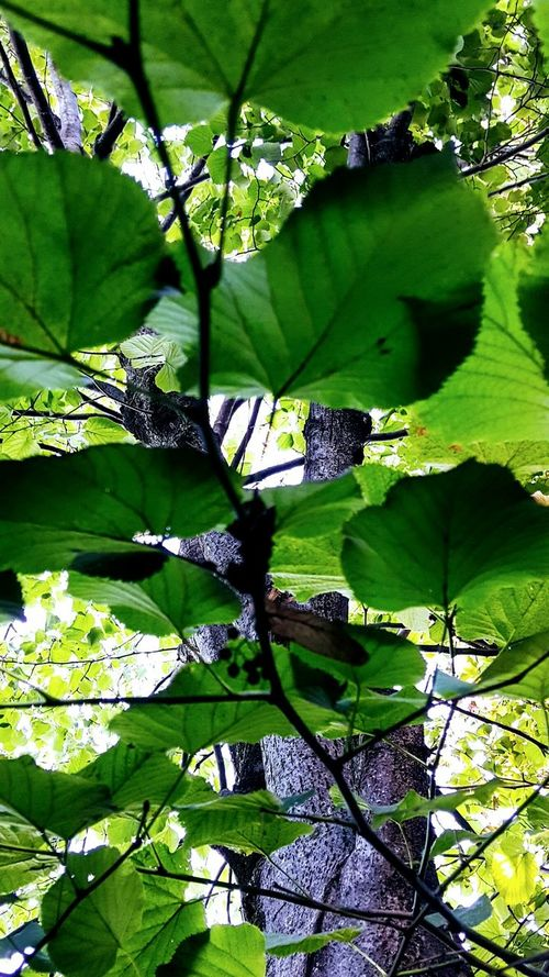 Green Color Nature Leaf Growth Sunlight No People Day Outdoors Full Frame Shadow Beauty In Nature Tree Close-up Freshness Neighborhood Map