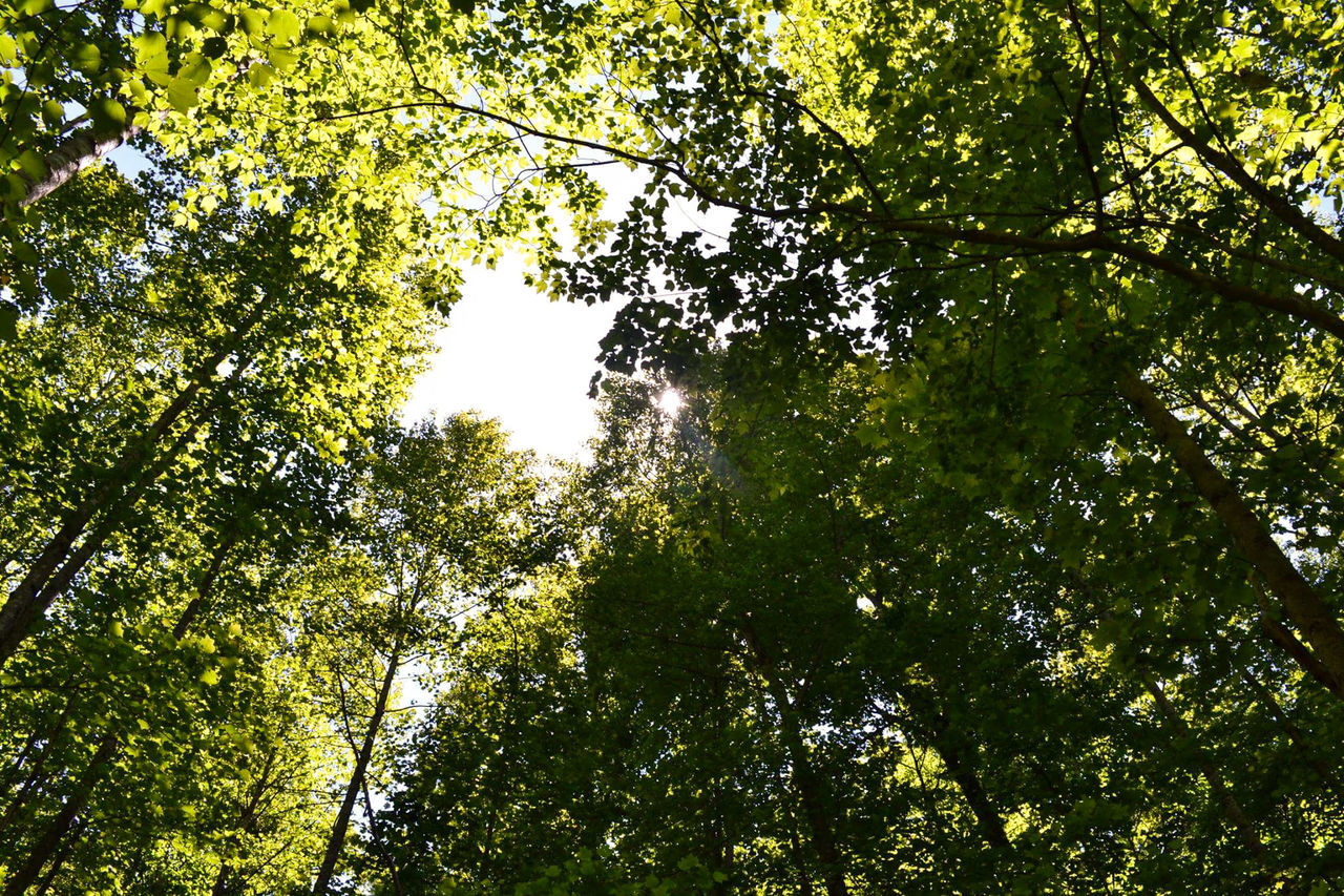 tree, low angle view, nature, growth, forest, beauty in nature, branch, tranquility, tree canopy, day, outdoors, green color, no people, scenics, leaf, sky