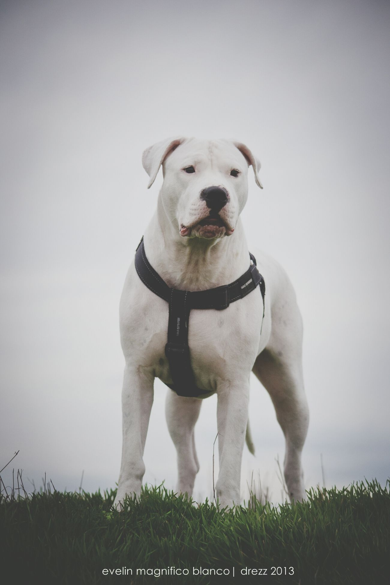 Dogoftheday Dogs Dogo Argentino Beauty #animals