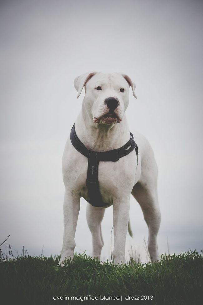 Dogoftheday Dogs Dogo Argentino Beauty #animals