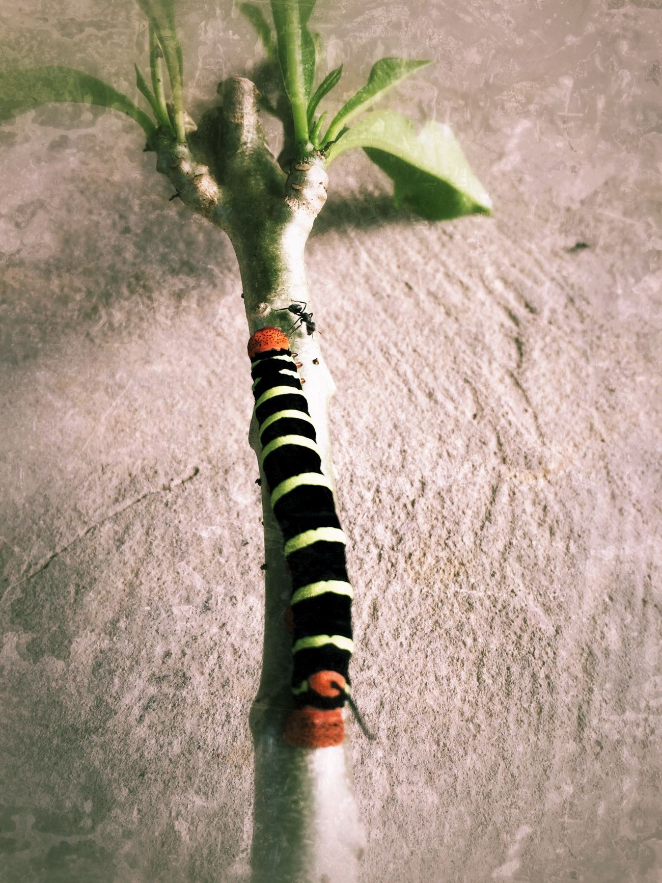 Caterpillar seen on August 3, 2014 in Trinidad. #LifeInAVillage