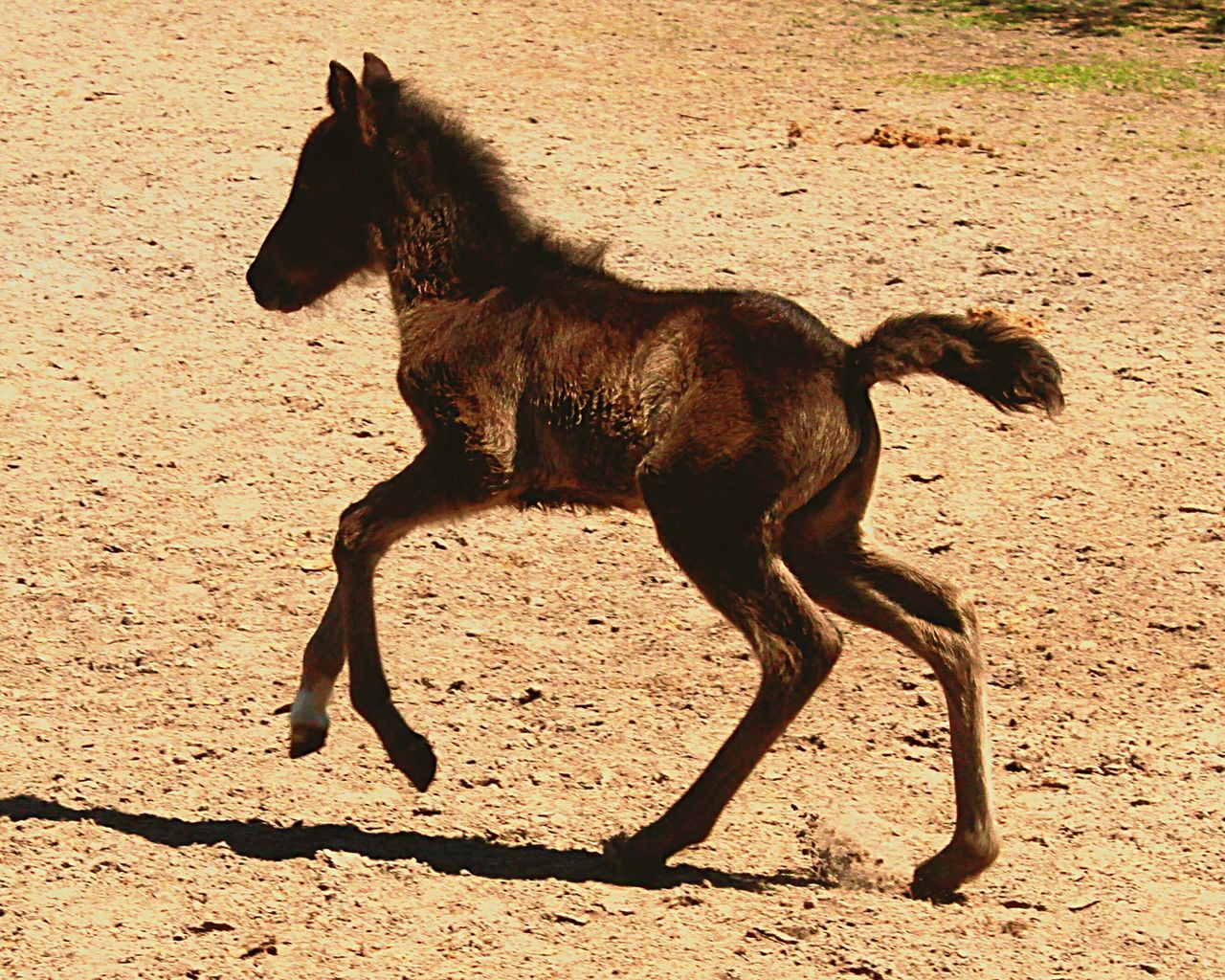 Side View Of A Pony Running On Ground