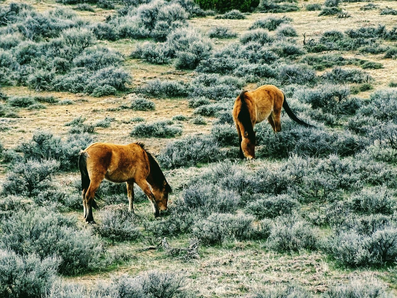 Animal Themes Mammal Herbivorous No People Grazing Outdoors Nature Grass Day Animals In The Wild Animal Wildlife Two Animals Grazing Sagebrush Wyoming Wild Horses Beauty In Nature Nature Standing