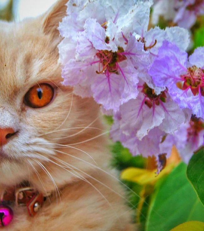 Catlover Pet Love Pet Cat♡ Looking At Camera Animal Themes Flower Nature Outdoors Beauty In Nature Natural Beauty Natural Light Purple Flower Petal Eyes Cat Cute Cat Focus