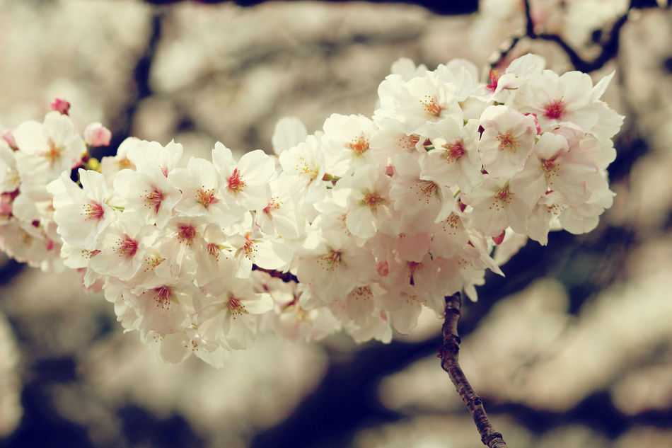 Beauty In Nature Blooming Blossom Branch Cherryblossoms Flower Fragility Growth Nature No People Petal Selective Focus Springtime Tree White Color