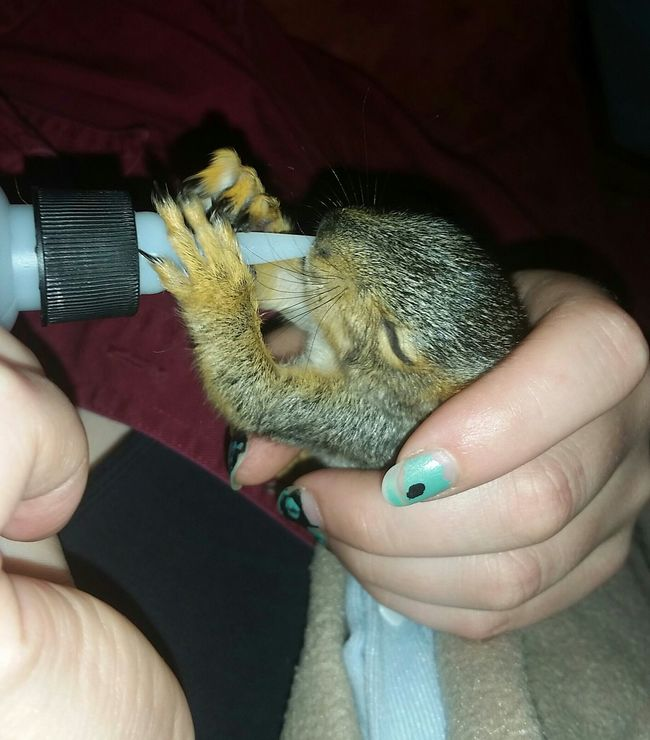Baby Squirrel Orphaned Squirrel Love For Orphaned Animals Animal Love